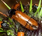 Lydus trimaculatus