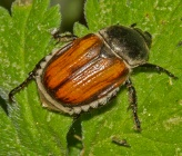 Anisoplia sp Arachtos