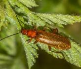 Rhagonycha nigritarsis