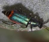 Clanoptilus affinis