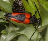 Stictoleptura cordigera - θηλυκό