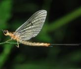 Ephemeridae sp Attiki