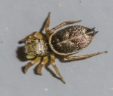 Heliophanus flavipes