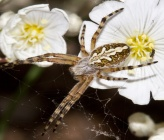 Aculepeira ceropegia - αρσενικό