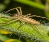 Tibellus macellus