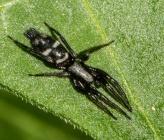 Aphantaulax cincta