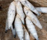 Albinaria teres
