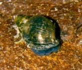 Galba truncatula