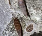 Idyla castalia subsp crenilabris
