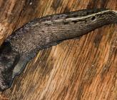 Limax cinereoniger