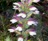 Acanthus spinosus
