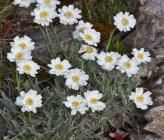 Achillea ageratifolia subsp ageratifolia