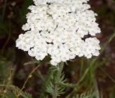 Achillea nobilis subsp neilreichii