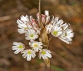Allium callimischon subsp callimischon