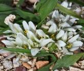 Allium chamaemoly subsp chamaemoly