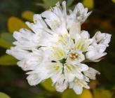 Allium phthioticum