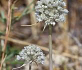 Allium staticiforme