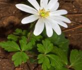 Anemone apennina subsp blanda