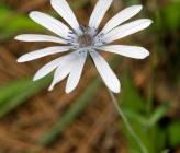 Anemone hortensis subsp heldreichii