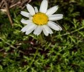 Anthemis arvensis subsp incrassata