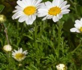 Anthemis auriculata
