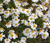 Anthemis pindicola