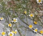 Anthemis cretica subsp leucanthemoides