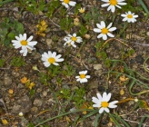 Anthemis macrotis