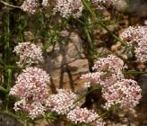 Asperula pubescens
