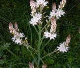 Asphodelus ramosus subsp ramosus