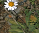 Bellis longifolia