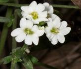 Berteroa obliqua subsp obliqua