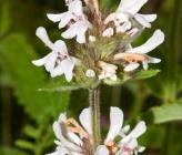 Betonica scardica