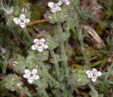 Bolanthus graecus
