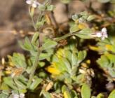 Bolanthus thymifolius