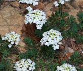 Bornmuellera baldaccii subsp baldaccii