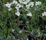 Bornmuellera tymphaea
