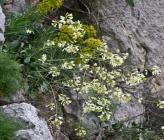 Brassica cretica subsp cretica