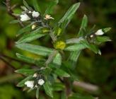 Buglossoides incrassata subsp incrassata