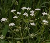 Bunium ferulaceum