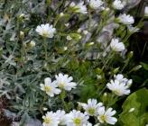 Cerastium banaticum subsp banaticum