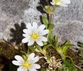 Cerastium banaticum subsp speciosum