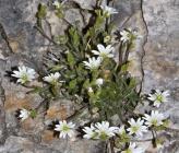 Cerastium decalvans subsp orbelicum