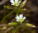 Cerastium holosteoides subsp vulgare