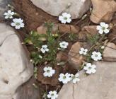 Cerastium scaposum subsp scaposum