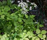 Chaerophyllum heldreichii