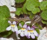 Cymbalaria microcalyx subsp paradoxa