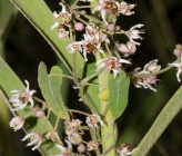 Cynanchum acutum subsp acutum