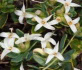 Daphne oleoides subsp oleoides
