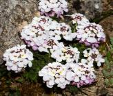 Iberis carnosa subsp carnosa